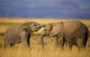 3779_file_Elephant2_Balfour-300x190