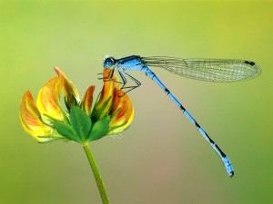dragonfly_on_a_flower-1243-300x225