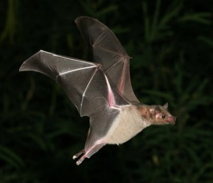 Lesser-Long-nosed-Bat-1-300x257