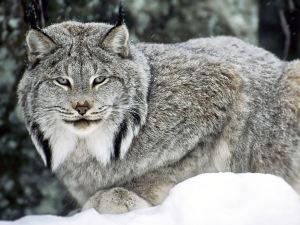 wild_cats_036