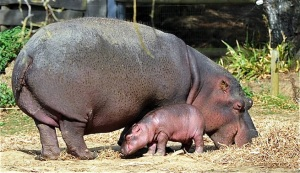 "a six-day-old hippopotamus is pictured next to his mother, Kara, aged 21, on September 12, 2012 at ""Planet sauvage"" (wild planet) zoo in Port-Saint-Pere, western France. The birth, a rare event for this species in captivity, occured on September 7, 2012 in the zoo. AFP PHOTO FRANK PERRY"